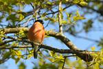 Common Bullfinch (Pyrrhula pyrrhula)